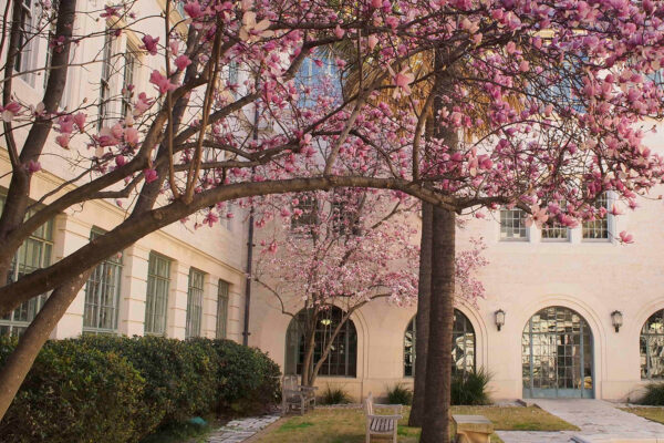 Pink blossoms in front of goldsmith hall